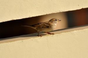 sparrow-73307_1280